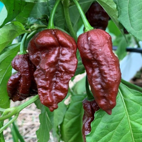 Bhut jolokia (chocolate) chilli-pepper - 1,001,304 scovilles (10 seeds) picture
