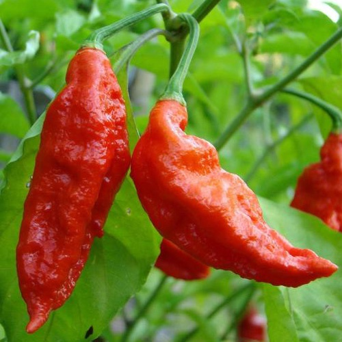 Bhut jolokia (red) - 1,041,000 scovilles (10 seeds) picture