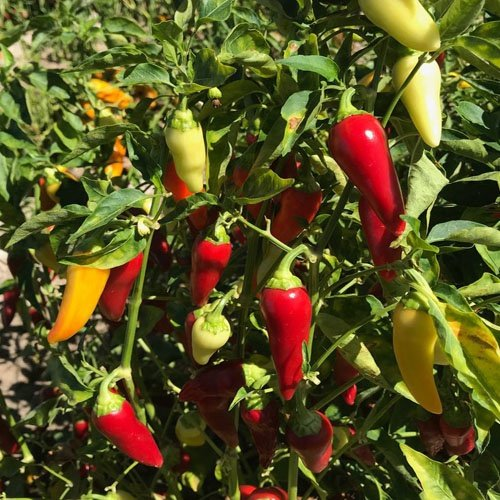 Biala shipka chilli pepper – 100,000 scovilles (10 seeds) picture