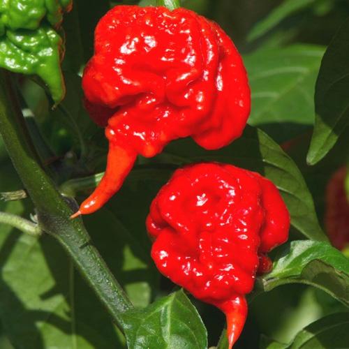 Carolina reaper (red) chilli-pepper - 2,100,000 scovilles (10 seeds) picture