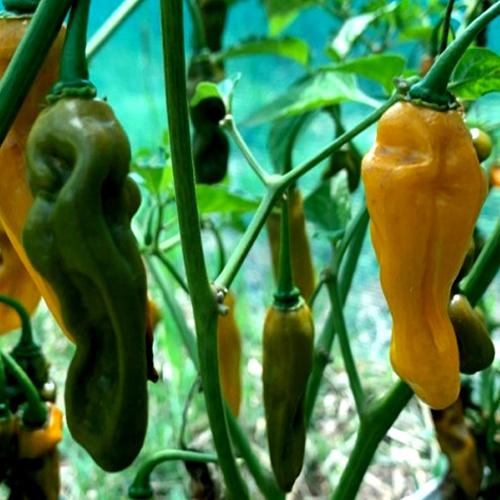 Fluorescent yellow scorpion chilli-pepper - 1,800,000 scovilles (10 seeds) picture