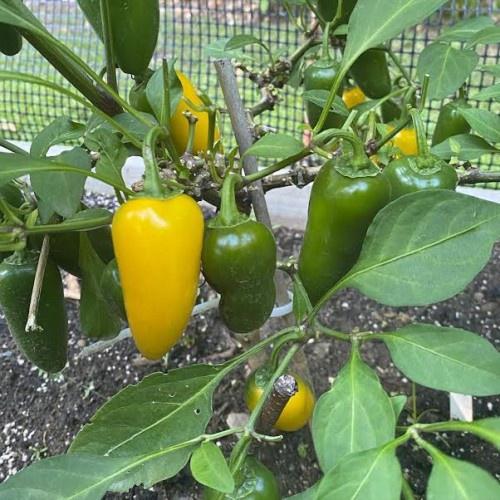 Jalapeño (lemon spice) chilli-pepper - 10,000 scovilles (10 seeds) picture