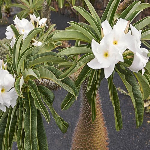 Madagascar palm (20 seeds) picture
