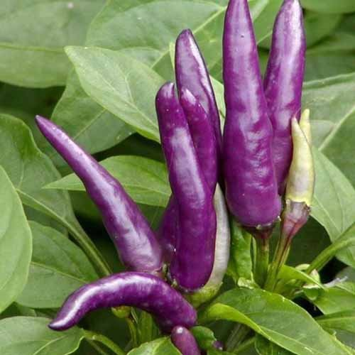 Masquerade chilli-pepper - 70,000 scovilles (15 seeds) picture