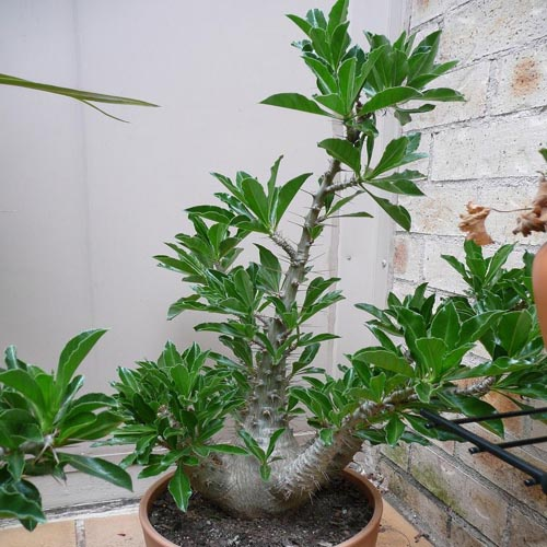 Kudu lilly (20 seeds) picture