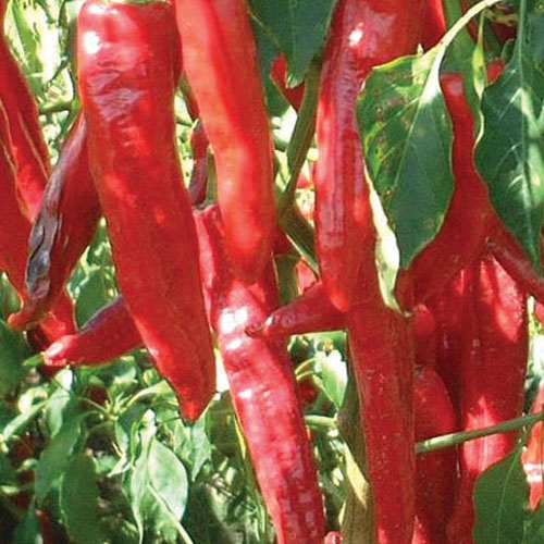 Paprika (malawian x) - chilli pepper - 50,000 scovilles (10 seeds) picture