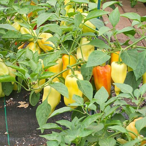 Paprika (yellow) chilli-pepper - 600 scovilles (20 seeds) picture
