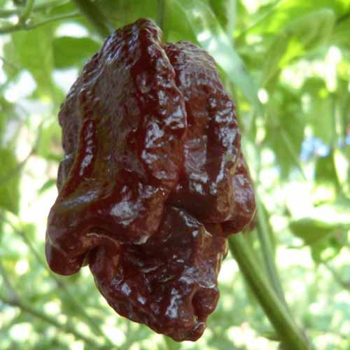 Trinidad moruga scorpion (chocolate) chilli-pepper - 2,100,000 scovilles (10 seeds) picture