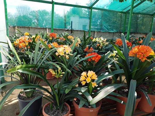 Clivia sales picture