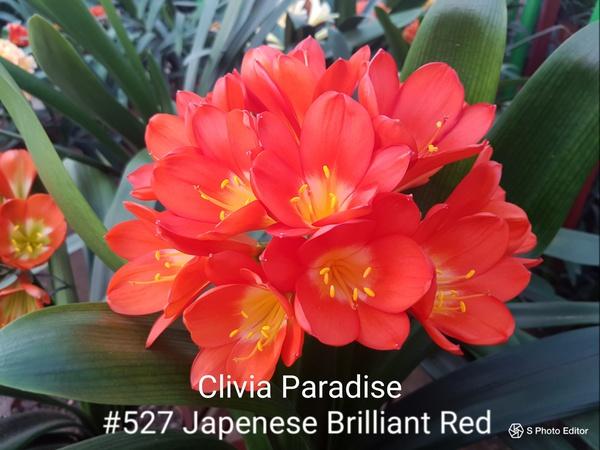 #527 japenese brilliant red picture