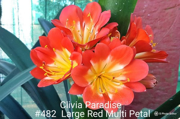#482 red multi petal picture