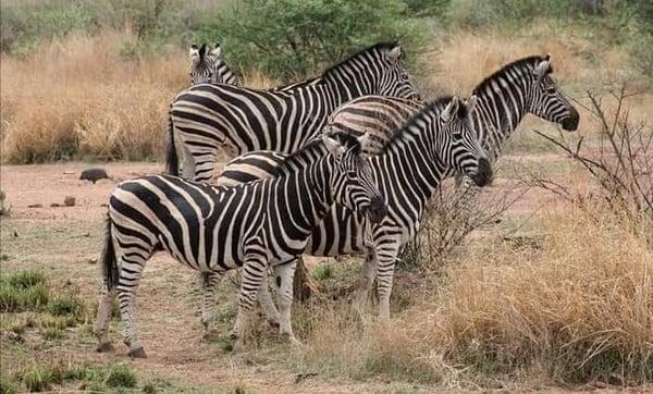Pilanesberg Game Drive Tour picture