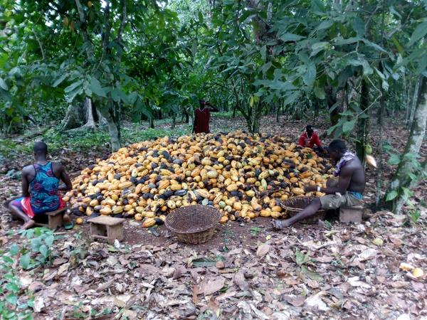 Cocoa farmers cry picture